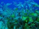 cuba-coral-reef-fish
