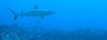 reefshark NOAA