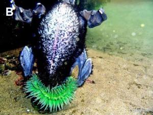 anemone eats duck